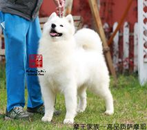小可爱- Jenny of Rong Ao Si Ting Kennel