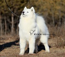 坚强- (CH.CN)Pet Firm of Mo Wang Jia Zu Kennel(FCI)