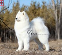 欧巴- CN.CH.Ouba of Mo Wang Jia Zu Kennel (FCI)