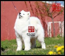 玛奇朵- (CH.CN)Joy Macdo of Mo Wang Jia Zu Kennel(FCI)